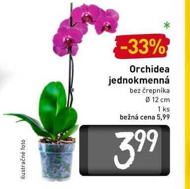 Orchidea jednokmenná bez črepníka pr. 12 cm