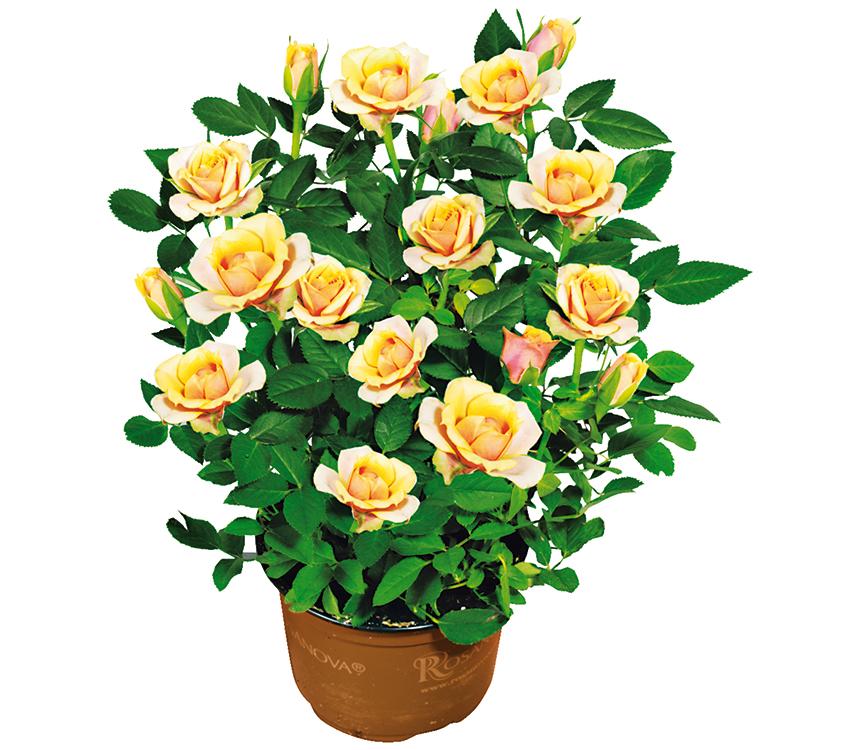 Ruža v kvetináči