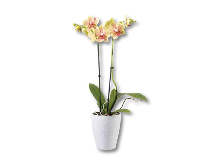 Orchidea v keramike