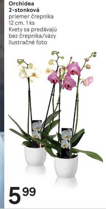 Orchidea 2-stonková