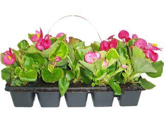 obrázek Begonia semperflorens  10 pack
