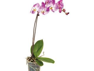 Orchidea 1-výhonková
